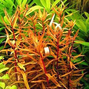 Ammania Senegalensis Live Aqua