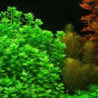 Bacopa Australis Live Aquarium Plant
