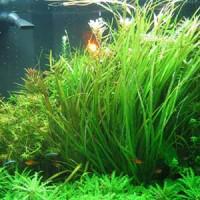 Blyxa Aubertii Live Aquarium Plant