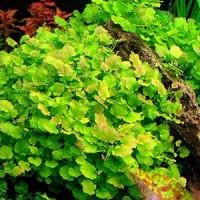 Cardamine Lyrata Live Aquarium Plant