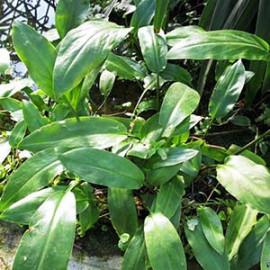 Cryptocoryne Ciliata by www.aquastore.in
