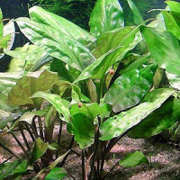 Cryptocoryne Pontederiifolia Live Aquarium Plant