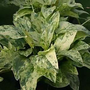 Echinodorus Cordifolius Marble Queen Yellow Live Aquarium Plant