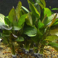 Echinodorus Ozelot Live Aquarium Plant