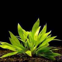 Echinodorus Quadricostatus Live Aquarium Plant