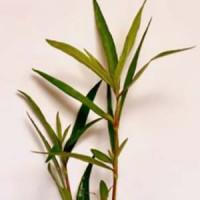 Hugrophila Sp Quadrivalvis Needle Leaf Live Aquarium Plant