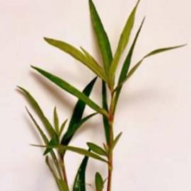 Hugrophila Sp.Quadrivalvis Needle Leaf by www.aquastore.in