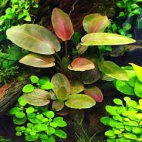 Legenandra Meeboldii Green Live Aquarium Plant