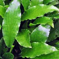 Legenandra Toxicaria Live Aquarium Plant