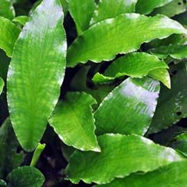 Legenandra Toxicaria by www.aquastore.in