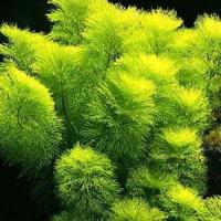 Limnohila Indica Yellow Live Aquarium Plant