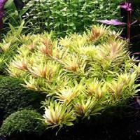 Limnophila Aromatica Mini Live Aquarium Plant