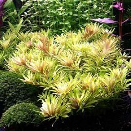 Limnophila Aromatica Mini by www.aquastore.in