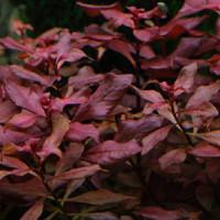 Ludwigia Palustris-Hi Red Live Aquarium Plant