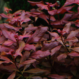 Ludwigia Palustris-Hi Red Live Aquarium Plant