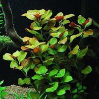 Ludwigia Repens Live Aquarium Plant