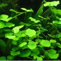 Pennywort Live Aquarium Plant