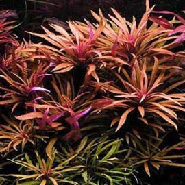 Pogostemon stellatus Purple by www.aquastore.in