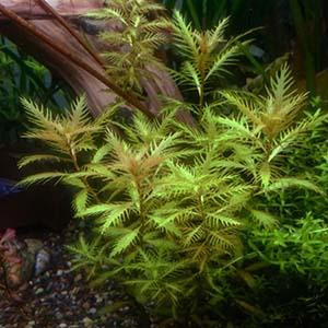 Proserpinaca Palustris Live Aquarium Plant