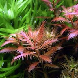 Proserpinaca Palustris by www.aquastore.in