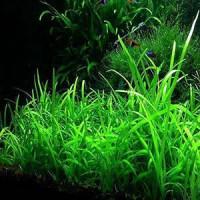 Sagittaria Dwarf Live Aquarium Plant