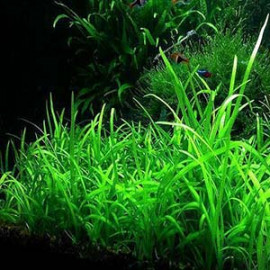 Sagittaria Dwarf Live Aquairum Plant by www.aquastore.in