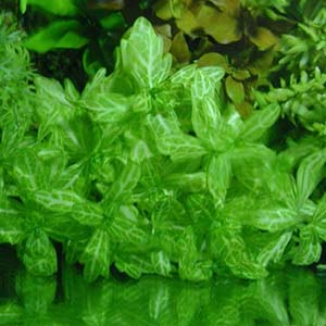 Shinnersia Rivularis Varigated Live Aquarium Plant