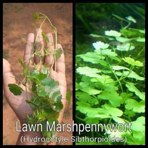 Lawn Marshpennywort Live Aquarium Plant