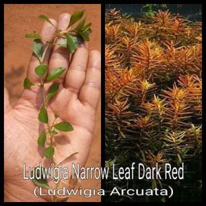 Ludiwigia Narrow Leaf Live Aquarium Plant