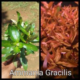 Ammania Gracilis Live Aquarium Plant