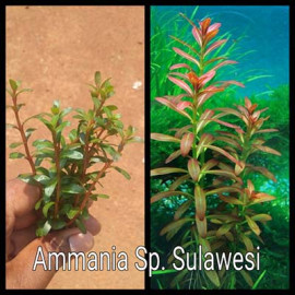 Ammania Sp. Sulawesi Live Aquarium Plant