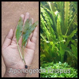 Aponogeton Crispus by www.aquastore.in