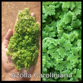 Azolla Caroliniana by www.aquastore.in