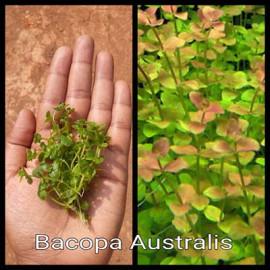 Bacopa Australis by www.aquastore.in
