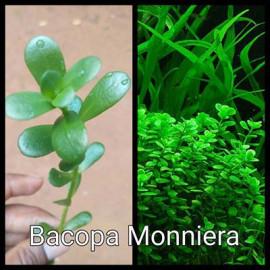 Bacopa Monniera Live Aquarium Plant
