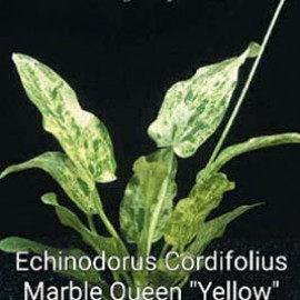 Echinodorus Cordifolius Marble Queen Yellow by www.aquastore.in