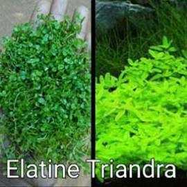 Elatine Triandra by www.aquastore.in