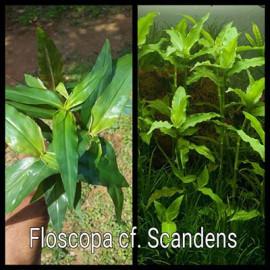 Floscopa cf. Scandens by www.aquastore.in
