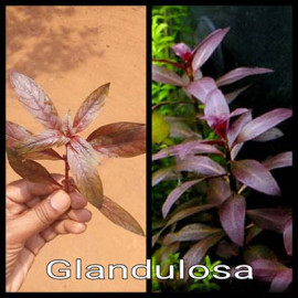 Glandulosa by www.aquastore.in