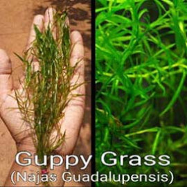 Guppy Grass Live Aquarium Plant