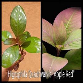 Hygrophila Sp. Quadrivalvis Apple Red Live Aquarium Plant