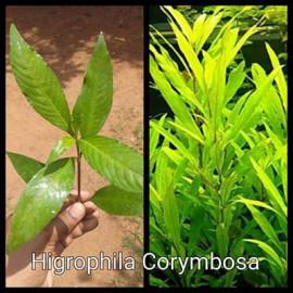 Higrophila Corymbosa Live Aquarium Plant