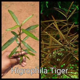 Higrophila Tiger by www.aquastore.in