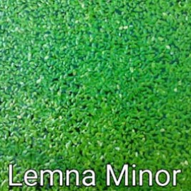 Lemna Minor by www.aquastore.in
