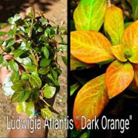 Ludiwigia Atlantis Dark Orange by www.aquastore.in
