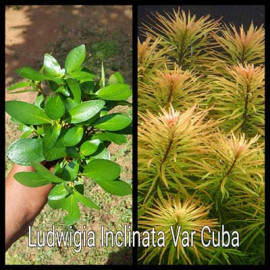 Ludiwigia Inclinata Var Cuba Live Aquarium Plant