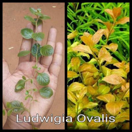 Ludwigia Ovalis by www.aquastore.in