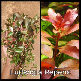 Ludwigia Repens by www.aquastore.in