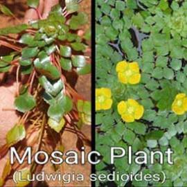Mosaic Plant by www.aquastore.in