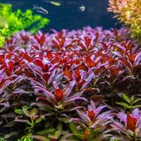 Glandulosa Live Aquarium Plant